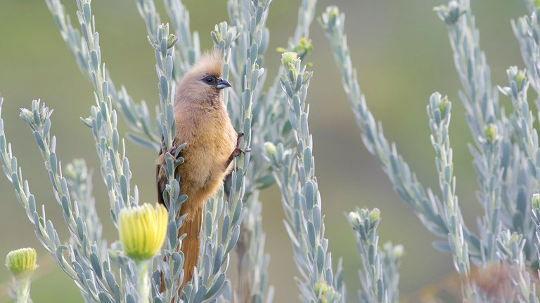 The white-back mousebird, known as a 'living fossil'. Pic: Dr Daniel Field