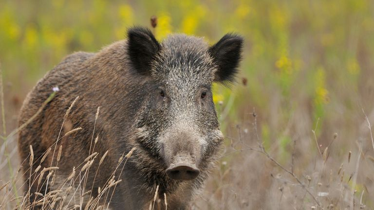 The 34-year-old man is said to have mistaken his father for a wild boar. File pic