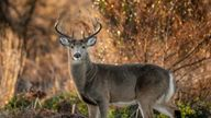 A hunter in Arkansas died after a deer he had shot attacked him. File pic