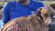 Miracle was unable to walk when he was found. Pic: Big Dog Ranch Rescue
