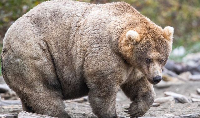 'Long live the Queen of Corpulence': Winner of viral Fat Bear contest revealed