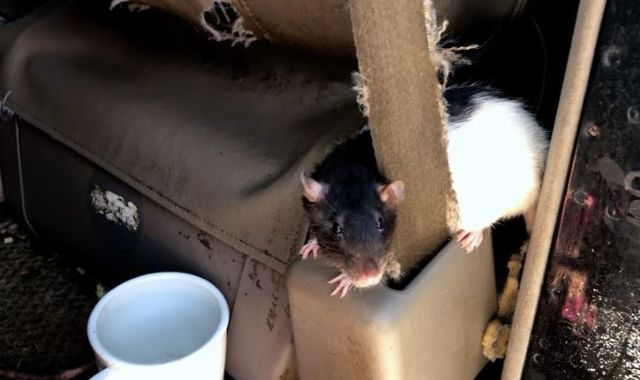 Woman who was living in a van with 320 rats agrees to give them up