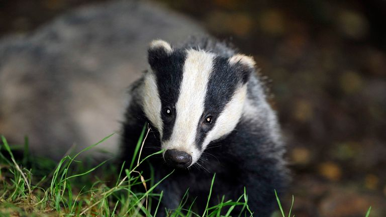 File photo dated 28/7/2008 of a wild badger. Licences have been granted for badger culling in 11 new areas as part of efforts to control tuberculosis in cattle, the Government has announced.