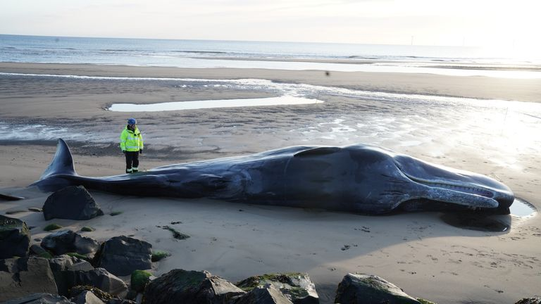 A Coastguard officer looks at the body of a sperm whale which washed up at Newbiggin-by-the-Sea in Northumberland on Friday.