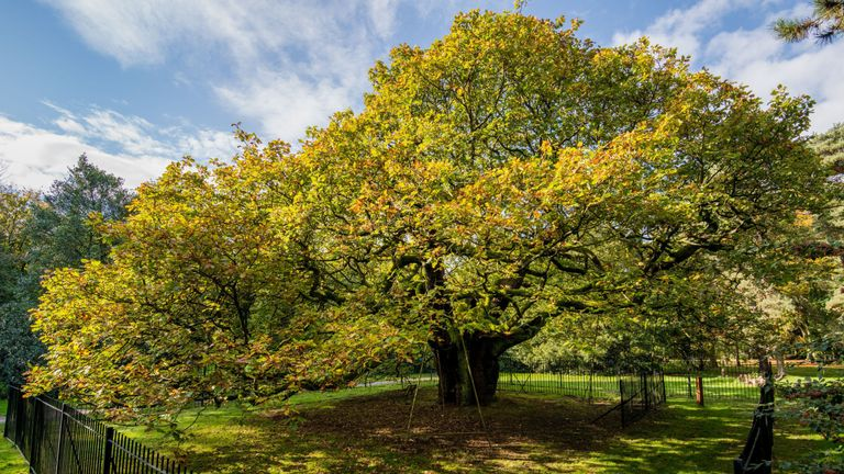 England's Tree of the Year, the Allerton Oak in Calderstones Park, Liverpool was described as 'spectacular'