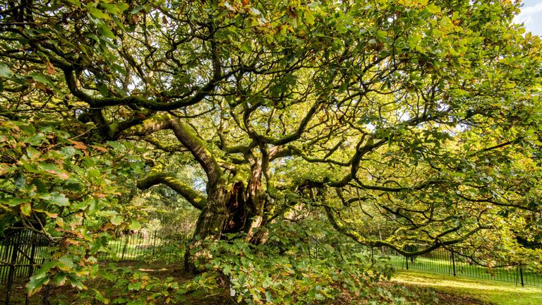 The Allerton Oak will now represent the UK in the European Tree of the Year contest which begins in February