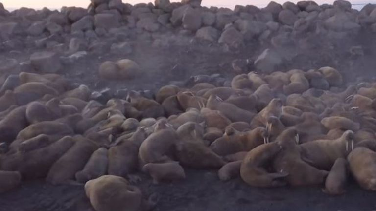 Drone footage from the Russian Geographical Society showed polar bears and groups of walrus inhabiting the area