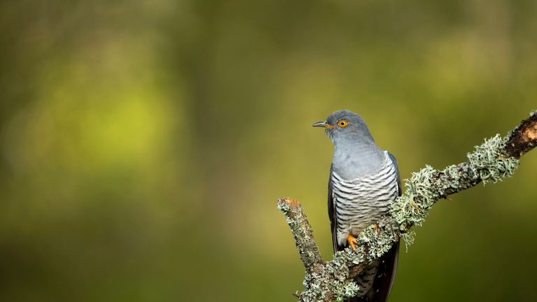 A common cuckoo sit on a lichen covered branch at Thursley National Nature Reserve in Surrey
