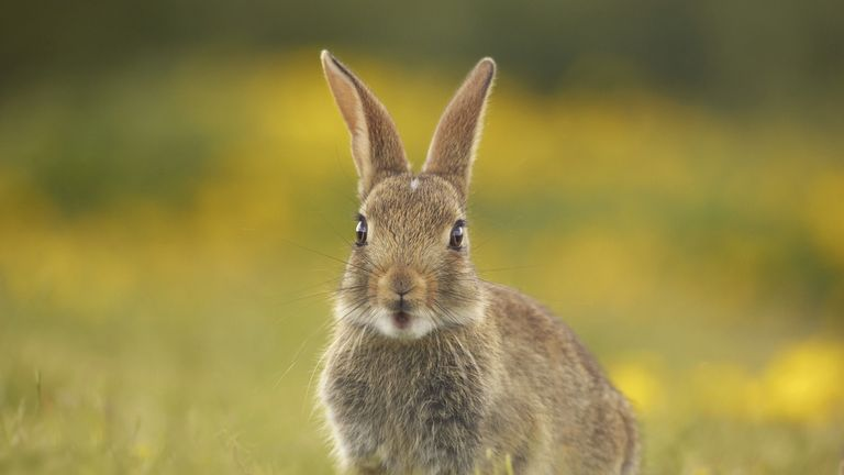 A young rabbit is seen in Conwy, Wales