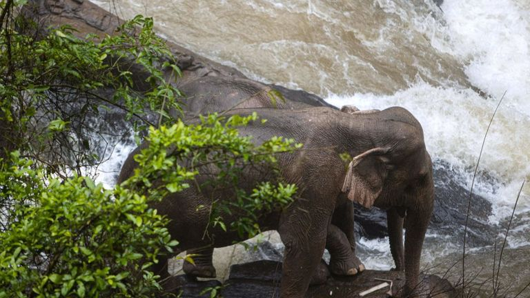 Rangers managed to coax two elephants standing on the edge of the ravine trying to look for a calf, back into the forest