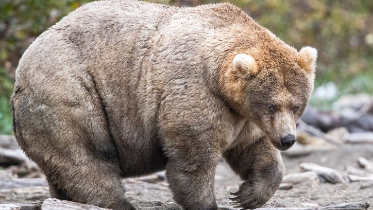 Holly was voted the fattest bear from the twelve competitors. Pic: 