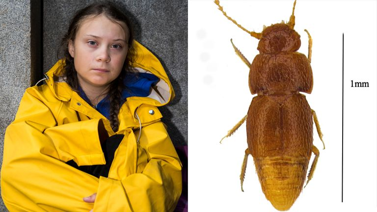 Greta Thunberg has had a new species of beetle named after her. Pic: The Trustees of the Natural History Museum