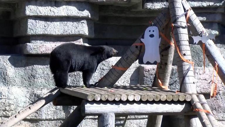Chimpanzees, black bears and lemurs at San Francisco Zoo and Gardens got some pre-Halloween pumpkin treats.