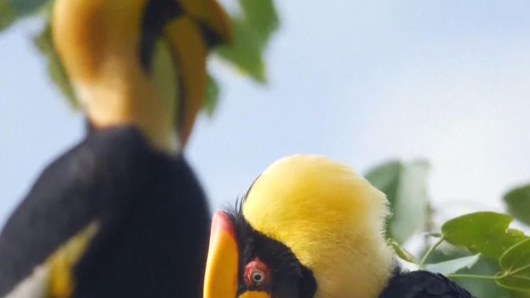 A flock of about 100 hornbills has been seen in China