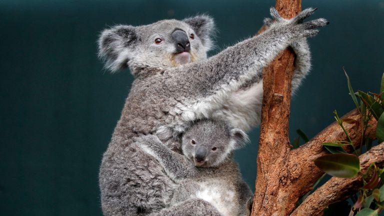Around two-thirds of the fire zone was koala habitat. File pic