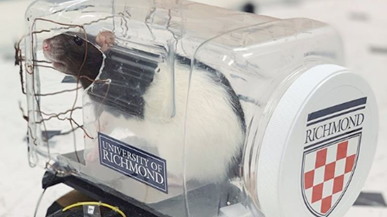 Scientists taught rats to drive little cars. Pic: University of Richmond
