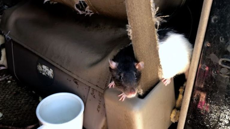 One of the rats is seen tucked behind a seat belt in the van. Pic: San Diego Humane Charity