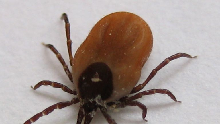 Ticks are becoming more common in parts of the UK