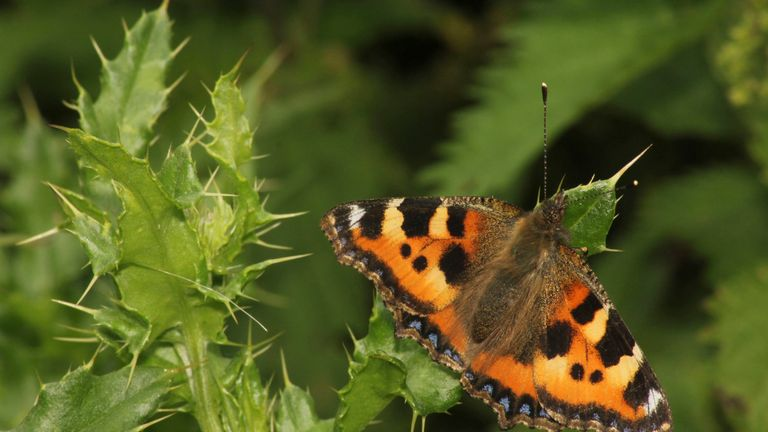 A small tortoiseshell butterfly on thistle