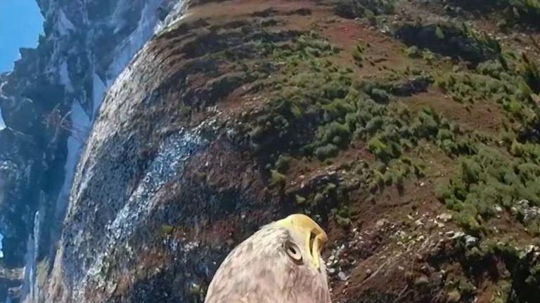 White-tailed eagle takes flight around Chamonix