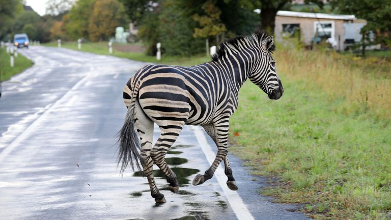 A zebra runs across a road in the village of Thelkow, north-eastern Germany