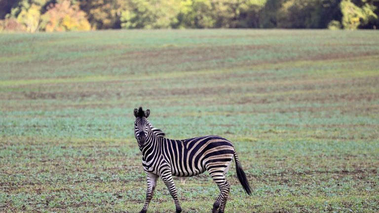 A zebra stands in a meadow near the village of Thelkow, north-eastern Germany