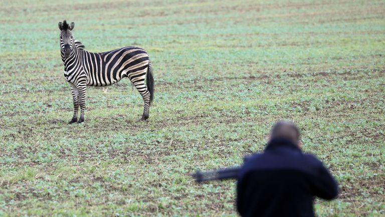 A zebra stands in a field as a man with a tranquilizer gun tries to approach it