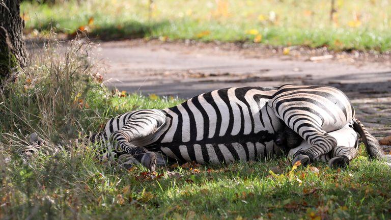A zebra lies dead by the roadside after it was shot near Liepen, north-eastern Germany