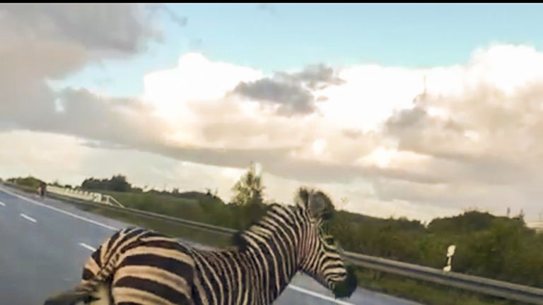 A zebra walks next to a police car on the A20 motorway near the village of Tessin, north-eastern Germany