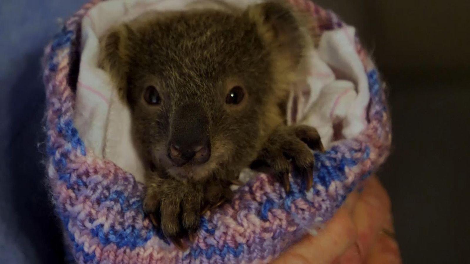australia bushfires  meet the koalas lucky to be alive after devastating blazes