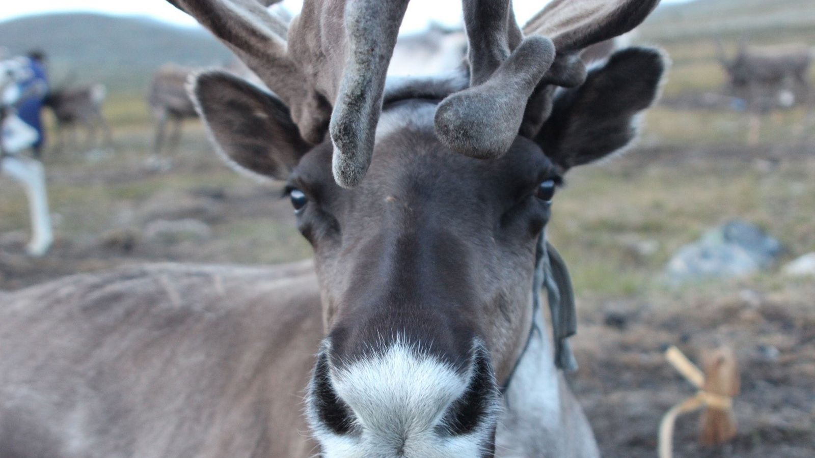 Reindeer and their herders in Mongolia paying 'first price' for climate change - Sky News