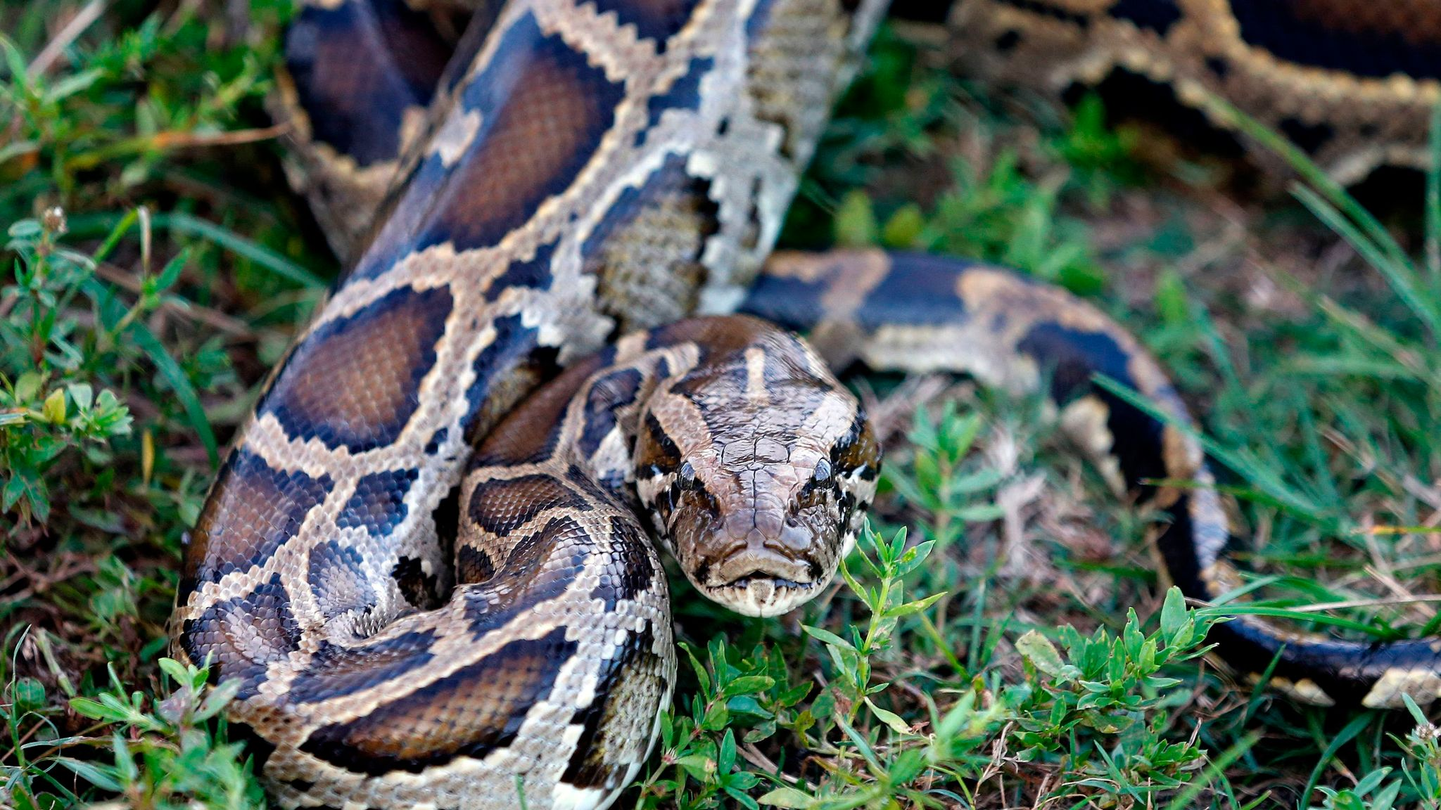 Snakes on the wane: Hunters catch thousands of pythons in Florida