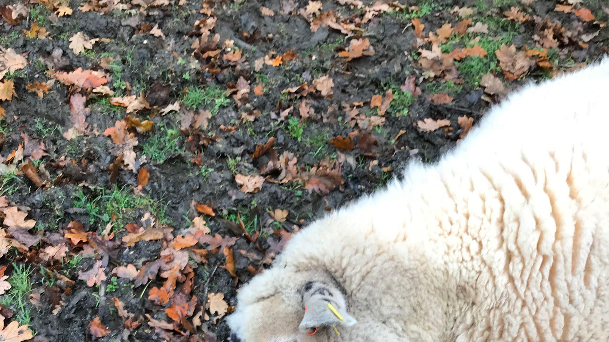 Arrest over 'satanic killings' of Hampshire sheep