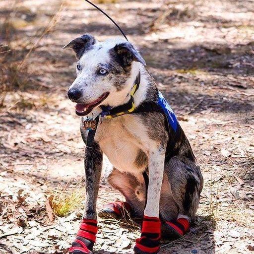 The OCD dog saving koalas trapped by bushfires