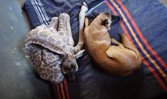 Hunter and Jazz: Dog and giraffe become best of friends