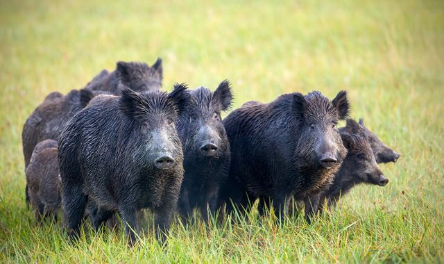 Wild boar discover and snort £17,000 of cocaine in Tuscan forest