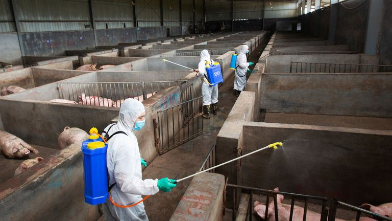 African Swine Fever (ASF) is a highly contagious disease that is deadly to pigs.