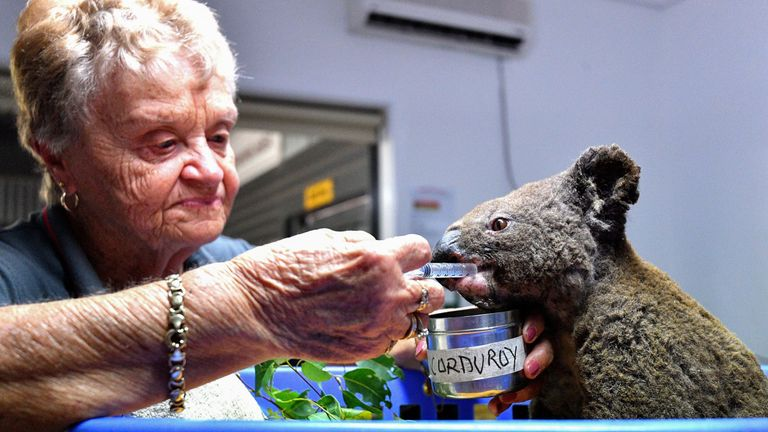 A dehydrated and injured koala gets help at the Port Macquarie koala hospital