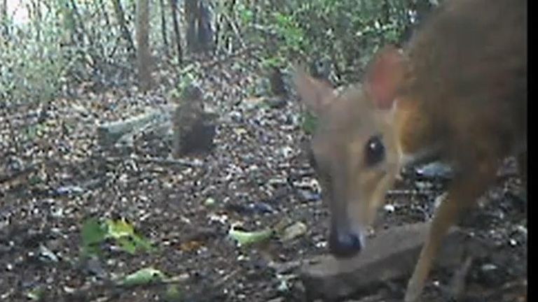 A rare tiny deer-like species thought to have been extinct has been found after almost 30 years, conservationists said Tuesday.