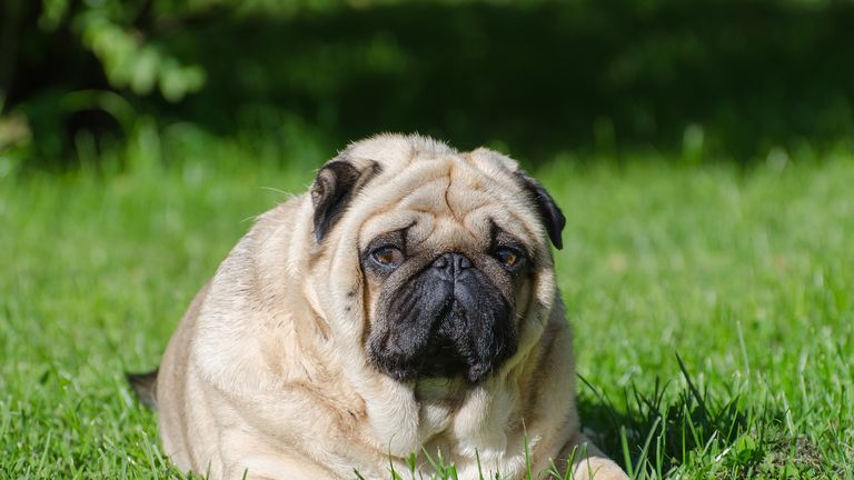 Pugs are the most obese dogs in Britain