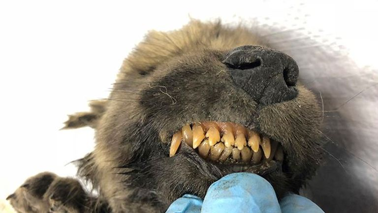 Its nose and teeth are remarkably intact. Pic: Sergey Fedorov/Siberian Times