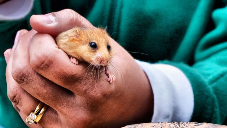 The dormouse population is holding steady in some areas
