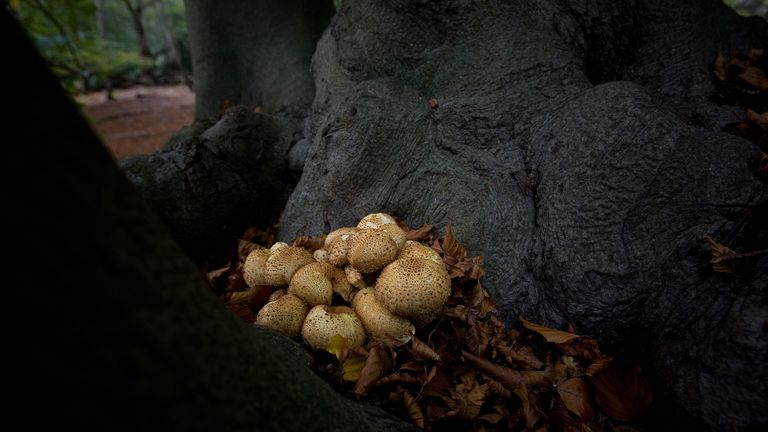 LONDON - OCTOBER 25: Fungi grow on the trunk of a tree in Epping Forest on October 25, 2008 in London, England. With around 1,200 different species of fungi, Epping Forest is one of the richest fungal sites in the UK. (Photo by Dan Kitwood/Getty Images)