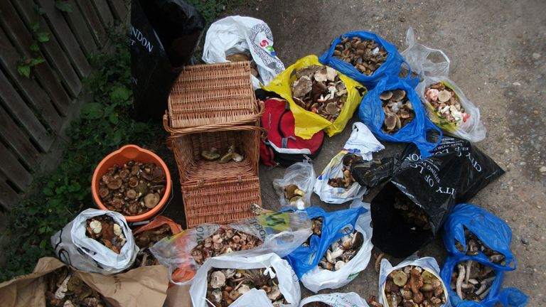 Embargoed to 0001 Wednesday November 06 Undated handout photo issued by the City of London Corporation of a seizure of a haul of mushrooms from Epping Forest as commercial pickers are stripping ancient woodland of wild mushrooms for sale to restaurants and markets, the City of London Corporation has said. PA Photo. Issue date: Wednesday November 6, 2019. The corporation, which owns and manages the forest, is warning the fungus pickers that they could be fined or prosecuted for gathering mushroom