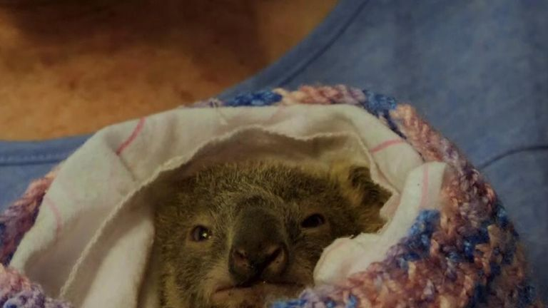 Australia's koala population has been devastated by  bushfires