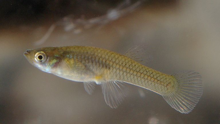 Antidepressant pollution is impacting Mosquito fish. Pic: NOZO