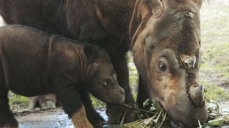Emi, a Sumatran rhinoceros eats Ficus leaves with her three week old female calf at the Cincinnati Zoo and Botanical Garden August 19, 2004 in Cincinnati, Ohio