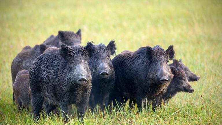 Two million wild boar are estimated to roam Italy