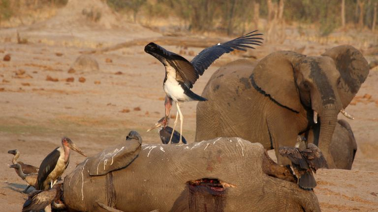 Vultures circle an elephant carcass at a watering hole in Zimbabwe's Hwange National Park
