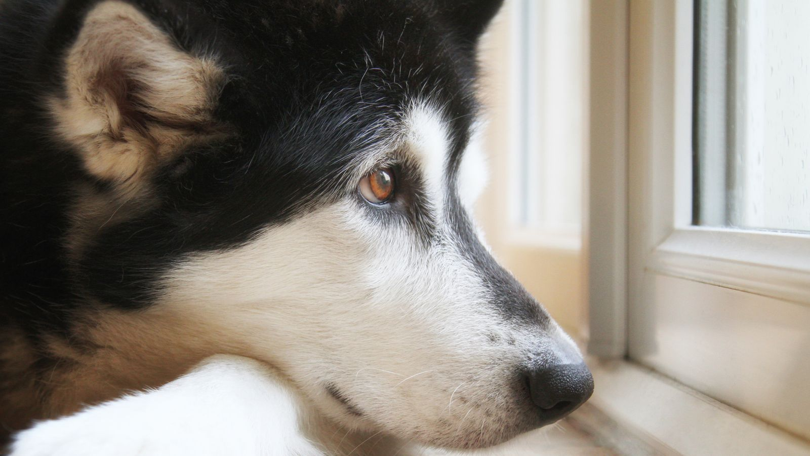 Husky starts kitchen fire after owners leave him home alone - EpicNews